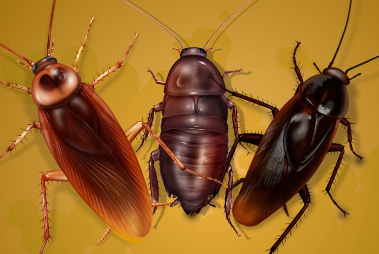 Illustration comparing 3 cockroaches referred to as the palmetto bug