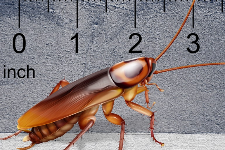 Illustration of an American cockroach in front of gray wall, ruler in the background