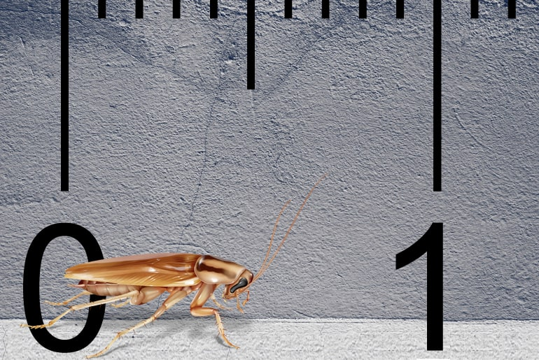 Illustration of an Asian cockroach in front of a gray wall, ruler in the background