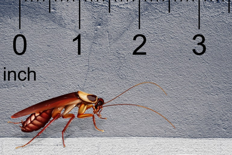 Illustration of an Australian cockroach in front of a gray wall, ruler in the background