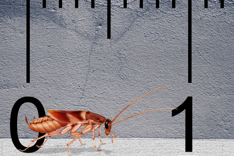 Illustration of a Brown-banded cockroach in front of a gray wall, ruler in the background