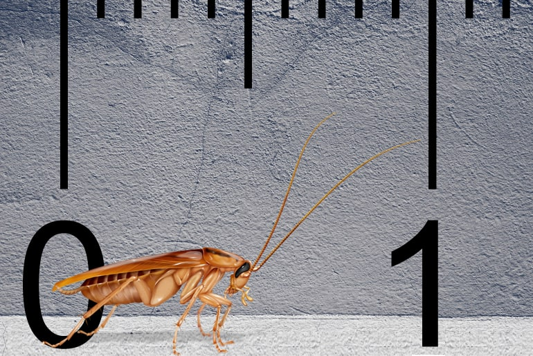 Illustration of a German cockroach in front of a gray wall, ruler in the background