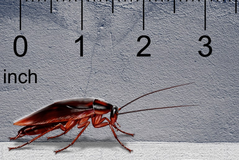 Illustration of a Smoky Brown cockroach in front of a gray wall, ruler in the background