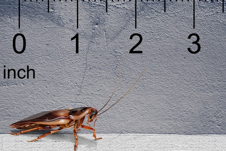 Illustration of a Pennsylvania wood cockroach in front of a gray wall, ruler in the background