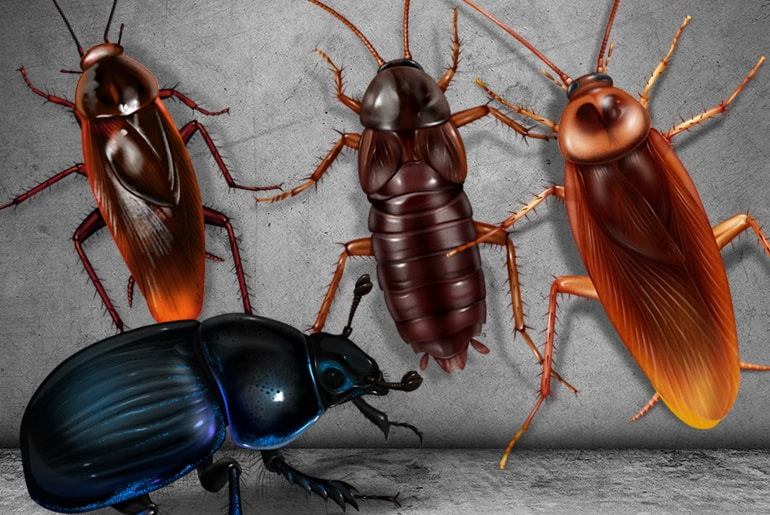 Comparison illustration of an American cockroach, Oriental cockroach, and Smoky Brown cockroach vs a Bor beetle