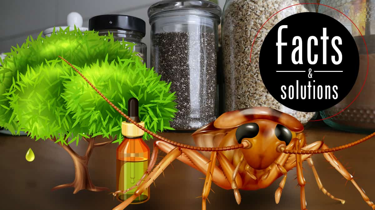 Essential Oils For Roaches Pest Free With Just A Spray Bottle Cockroach Facts