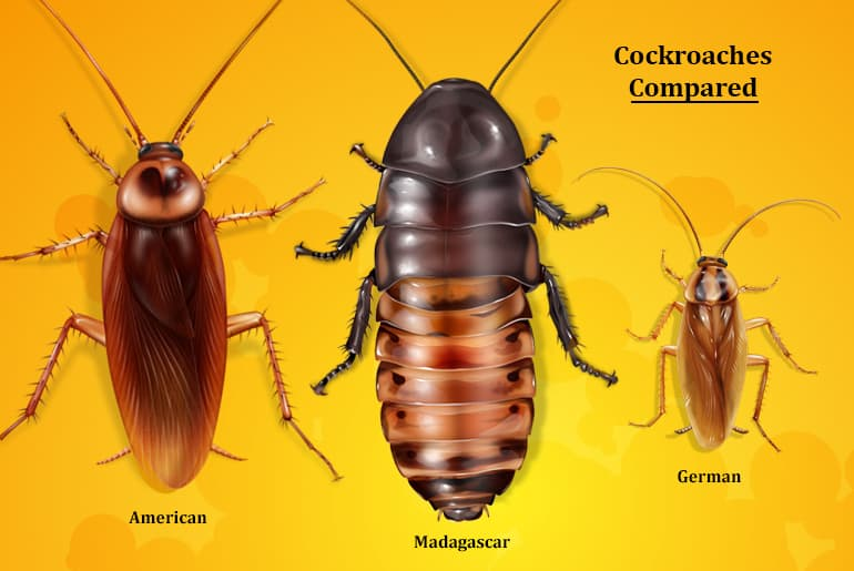 Size comparison of the Madagascar Hissing Cockroach vs the American Cockroach and the German Cockroach