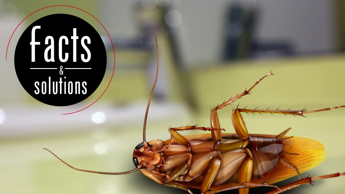 How To Get Rid Of Waterbugs Treatments And Prevention Cockroach Facts