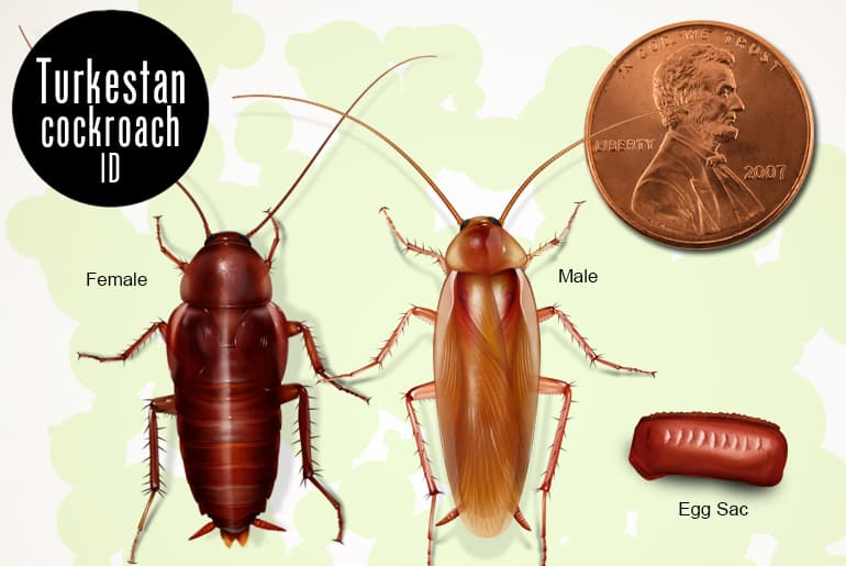 Illustration for size of the Turkestan cockroach male and Turkestan cockroach female, with egg case, compared to the size of a penny